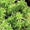 (観葉植物)苔 オオミズゴケ 1パック分