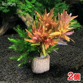(水草)ライフマルチ(茶) モス付き赤系有茎草 クリスマスカラー(水中葉)(2個)