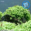 (水草)巻きたて ニューラージパールグラス付き 風山石(無農薬)(1個)