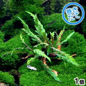 (水草)巻きたて ハイグロフィラsp.ラトナギリ付き 極上流木 Sサイズ(無農薬)(1本)(約15cm)