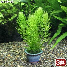 (水草)豆鉢入り マツモ(無農薬)(3鉢) 北海道航空便要保温