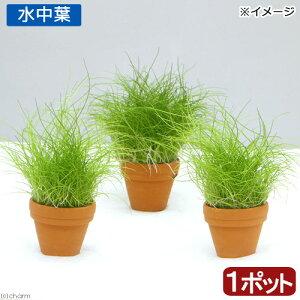 (水草)プチ素焼き鉢 ヘアーグラス ショート(水中葉)(無農薬)(1鉢)