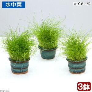 (水草)豆鉢入り ヘアーグラス ショート(水中葉)(無農薬)(3鉢)