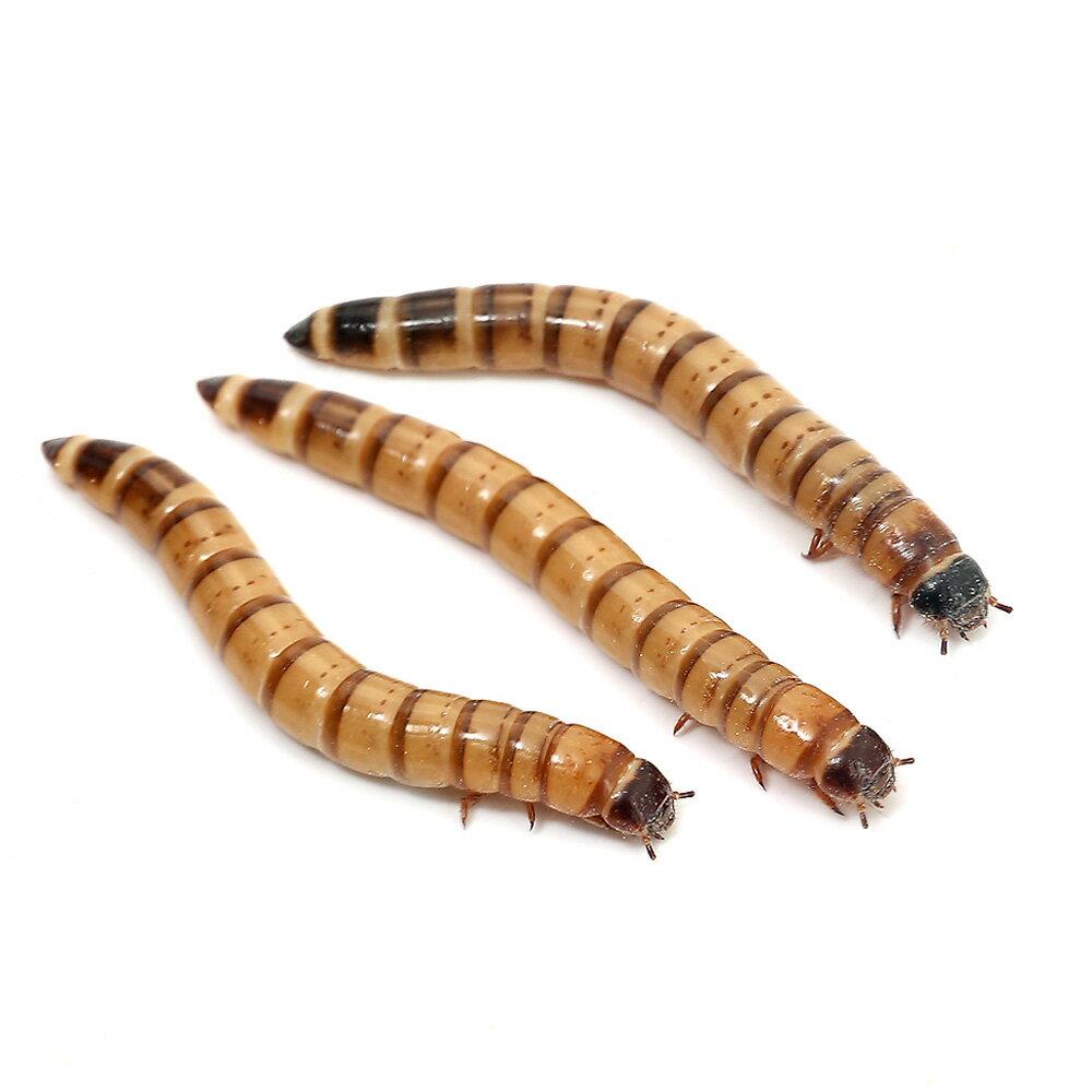 (生餌)ビッグミルワーム(50g) 北海道航空便要保温