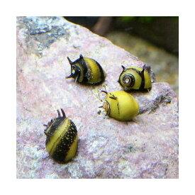 (エビ・貝)カラーサザエ石巻貝(12匹)
