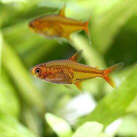 (熱帯魚)ファイアー・テトラ(4匹)
