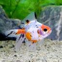 (国産金魚)キャリコ琉金(キャリコリュウキン)深見養魚場産(1匹)