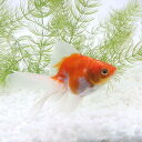 (国産金魚)桜琉金(サクラリュウキン)(1匹)