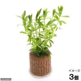(水草)ライフマルチ(茶) ベトナムゴマノハグサ(水上葉)(無農薬)(3個)
