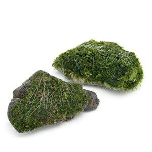 (水草)巻きたて ジャイアント南米ウィローモス 風山石 SSサイズ(8cm以下)(無農薬)(3個)