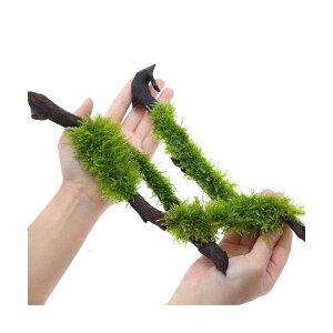 (水草)巻きたて ジャイアント南米ウィローモス スティック流木 Lサイズ(約25cm)(無農薬)(1本)