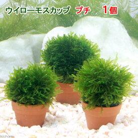 (水草)育成済 ウィローモス カッププチ(無農薬)(1個)