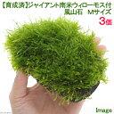 (水草)育成済 ジャイアント南米ウィローモス付 風山石 Mサイズ(約14cm)(無農薬)(3個)