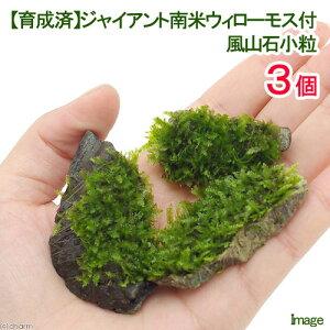 (水草)育成済 ジャイアント南米ウィローモス 風山石小粒(無農薬)(3粒)