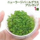 (水草)ニューラージパールグラス(水上葉)プリンカップ(無農薬)(1個)