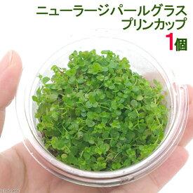 (水草)ニューラージパールグラス(水上葉)プリンカップ(無農薬)(1個) 北海道航空便要保温