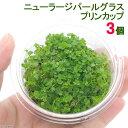 (水草)ニューラージパールグラス(水上葉)プリンカップ(無農薬)(3個)