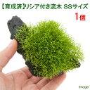 (水草)育成済 リシア付き流木 SSサイズ(無農薬)(1本)