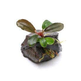 (水草)おまかせブセファランドラ(水上葉)風山石小粒(無農薬)(インボイス)(1個)