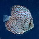 (熱帯魚)レッドダイヤモンド・ディスカス(Sサイズ)(1匹) 北海道・九州・沖縄航空便要保温