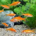 (金魚)生餌 小赤 エサ用金魚 大和郡山産(10匹) エサ金 餌金
