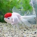 (国産金魚)飯田丹頂 8〜12cm(1匹)