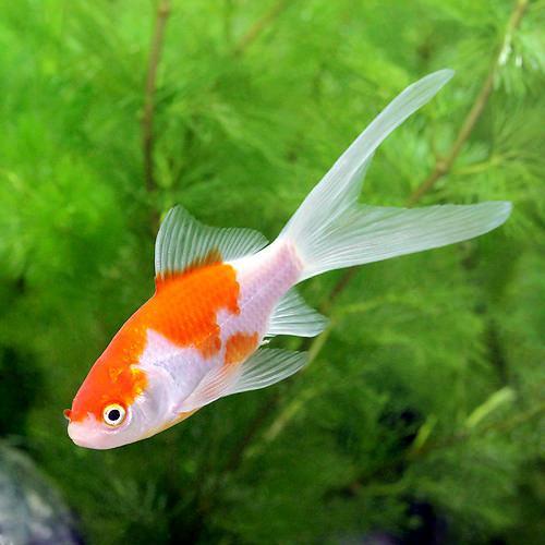 (国産金魚)コメット(10匹)