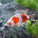 (国産金魚)キャリコ和金 四つ尾(1匹)