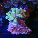 (海水魚 サンゴ)沖縄産 ヤナギカタトサカ ライトグリーン(1個) 北海道航空便要保温