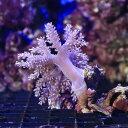 (サンゴ)沖縄産 カワラフサトサカ Sサイズ(1個)