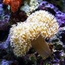 (海水魚 サンゴ)沖縄産 ウミキノコ ロングポリプ Sサイズ(1個) 北海道・九州・沖縄航空便要保温