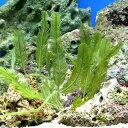 (海水魚 海藻)タカノハヅタ 岩なし(1房)