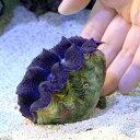 (サンゴ)ヒメシャコガイ ブルー Mサイズ(ブリード)(1匹)