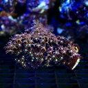 (海水魚 サンゴ)沖縄産 スターポリプsp. センターグリーン Sサイズ(1個) 北海道・九州・沖縄航空便要保温