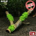 (水草)育成済 プレミアムグリーンモス 枝状流木 Sサイズ(約15cm)(無農薬)(1本)