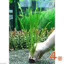 (水草)マルチリングブラック(黒) バリスネリア スピラリス(無農薬)(4個)