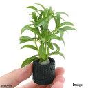 (水草)マルチリングブラック(黒) ハイグロフィラ バルサミカ(水上葉)(無農薬)(1個)