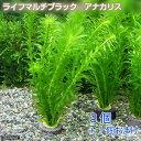(水草)メダカ・金魚藻 お一人様3点限り マルチリング・ブラック(黒) アナカリス(3個)+1個