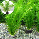 (水草)メダカ・金魚藻 お一人様3点限り マルチリング・ブラック(黒) アナカリス(3個+カボンバ1個)