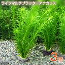 (水草)メダカ・金魚藻 マルチリング・ブラック(黒) アナカリス(3個)