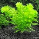 (水草)メダカ・金魚藻 マルチリング・ブラック(黒) ウトリクラリア アウレア(ノタヌキモ)(無農薬)(1個)