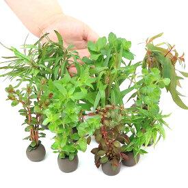 (水草)置くだけ簡単 マルチリングブラック(黒) おまかせ有茎草10種(水上葉)(無農薬)(計10個) 北海道航空便要保温