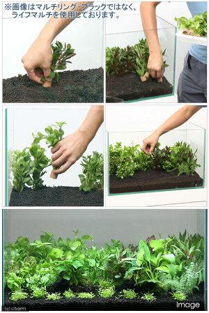 ■マルチリング・ブラックおまかせ有茎草10種(水上葉)(計10個)