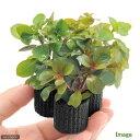 (水草)マルチリングブラック(黒) デルタ ルドウィジアミックス(水上葉)(無農薬)(1個)