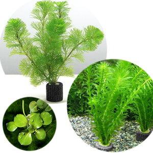 (水草)マルチリングブラック(黒) メダカ・金魚藻セット(1セット)+おまかせ浮き草1種(3株)