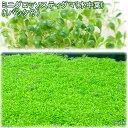 (水草)ミニグロッソスティグマ(水中葉)(無農薬)(3パック分)