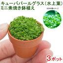 (水草)キューバパールグラス(水上葉) ミニ素焼き(無農薬)(3ポット分)