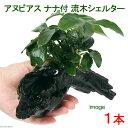 (水草)アヌビアスナナ付 流木シェルター Sサイズ(約15cm)(1本)