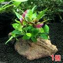 (水草)Plants Arrangement ザ ボンサイ Ver.アヌビアス ナナプチ(1個)