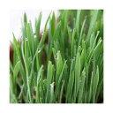 (観葉植物)長さで選べる ペットグラス 直径8cmECOポット植え(発芽前)(無農薬)(3ポット) 猫草